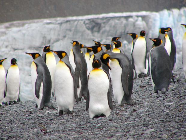 La crociera in antartide arriva oggi nella georgia - Pinguini di natale immagini ...